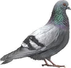 Tir au pigeon à Oostende dans CR CG live